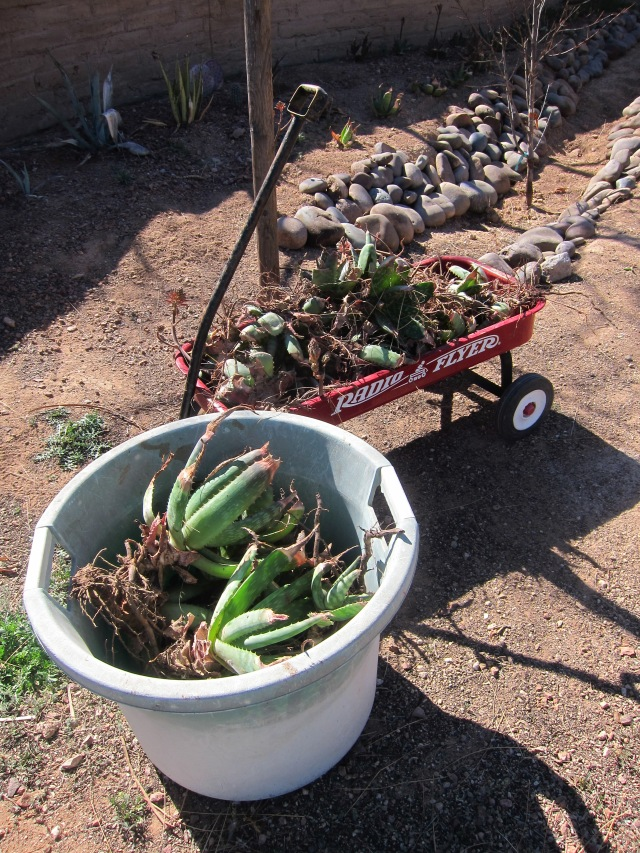 this is a small amount of the aloes i harvested!