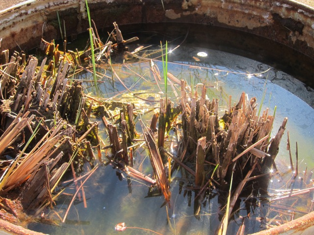 slowly removing the pond plants...