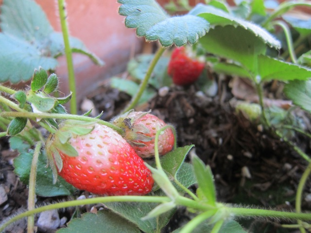 first strawberries (2)
