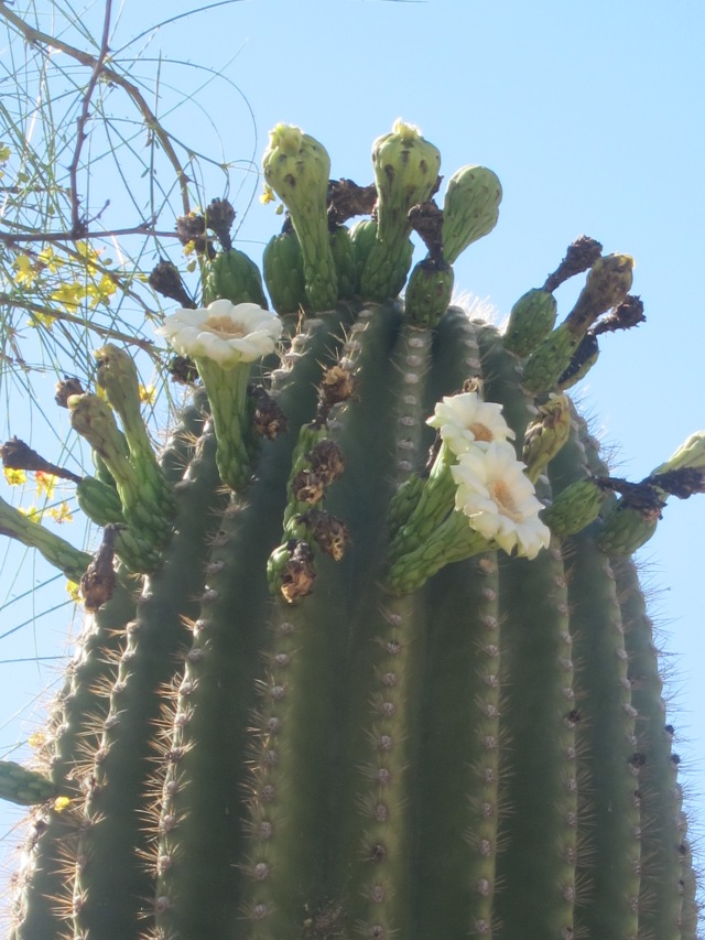 saguaro blooming (1)