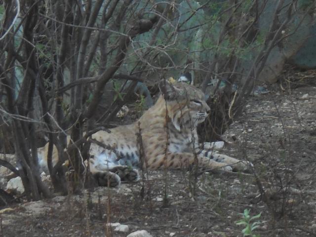 bobcat (11)