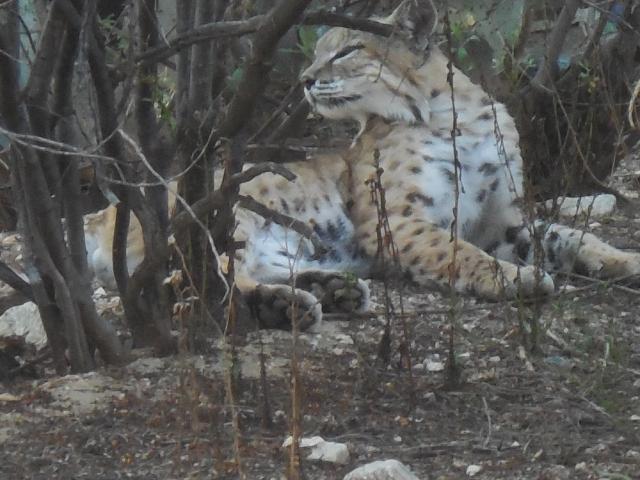 bobcat (7)