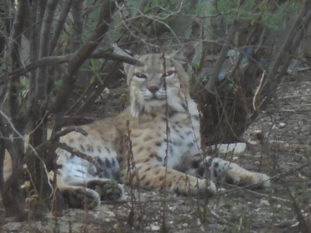 bobcat (8)