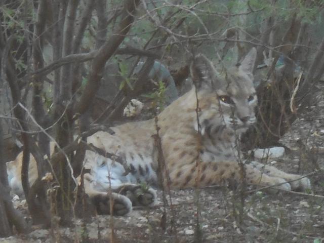 bobcat (9)
