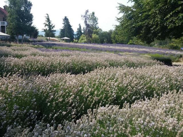 lavendar instag (2)