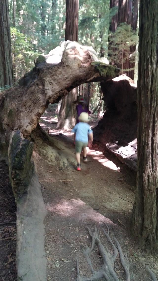 redwoods (13)