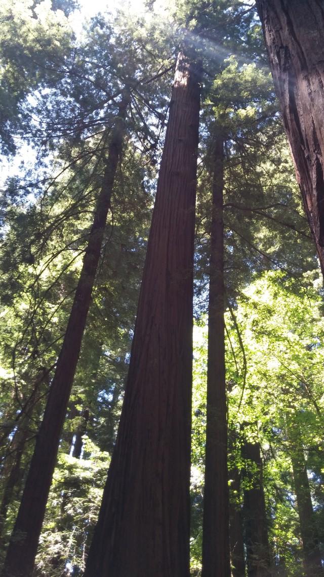 redwoods (33)