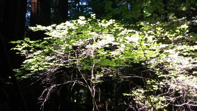 redwoods (34)