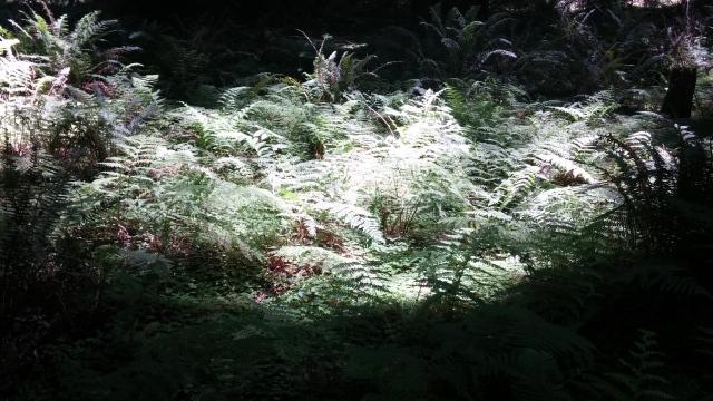 redwoods (42)
