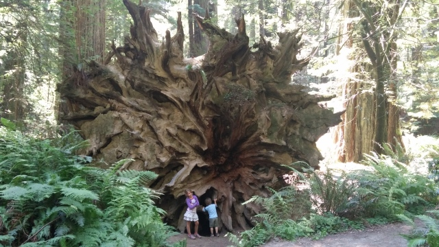 redwoods (49)